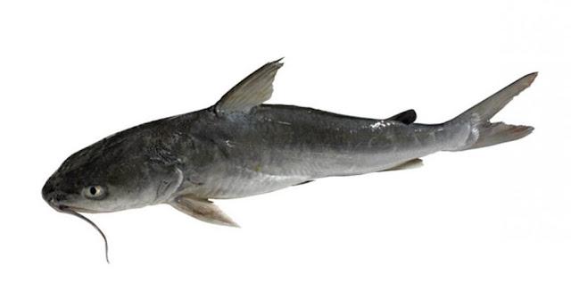 manfaat dan khasiat ikan patin untuk kesehatan dan kecantikan
