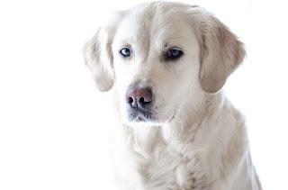Jenis Anjing Labrador Retriver