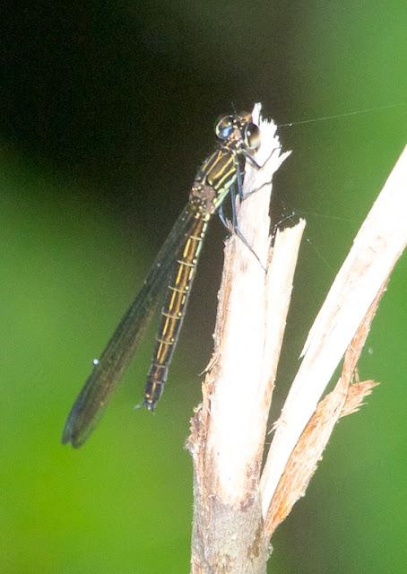 Heliocypha biseriata
