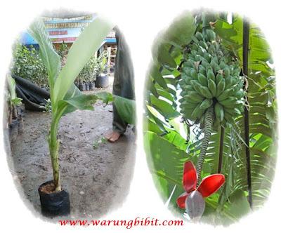 bibit pisang batu | bibit pisang klutuk | budidaya pisang batu | budidaya pisang klutuk | manfaat pisang batu | manfaat pisang klutuk