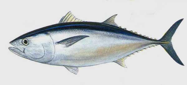 Ikan Tuna  Budidaya Ikan  Ikan Hias  Resep Ikan