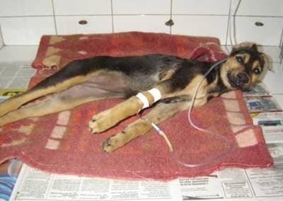 Sinais clínicos tétano em cães
