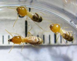 Soldiers of a small Odontotermes termite species