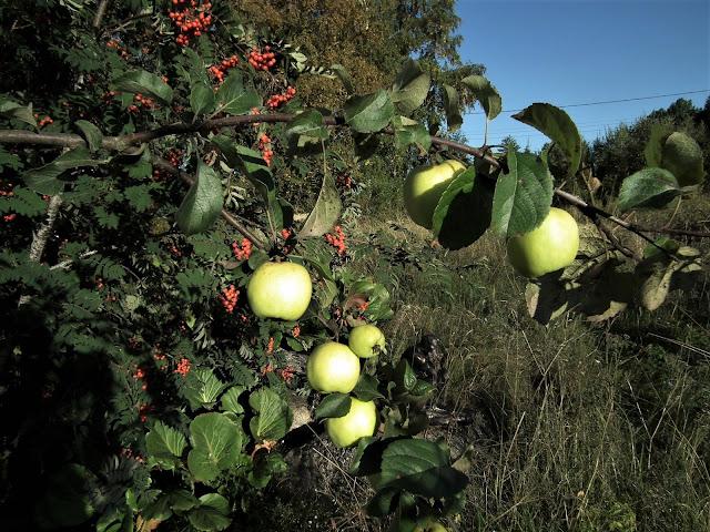 omenat, pihlajat, syksy, Karintie