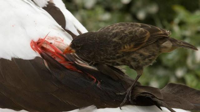 O animal ataca pássaros maiores, saltando em suas costas e, usando o bico afiado, faz um pequeno furo pelo qual sugam o sangue das vítimas.