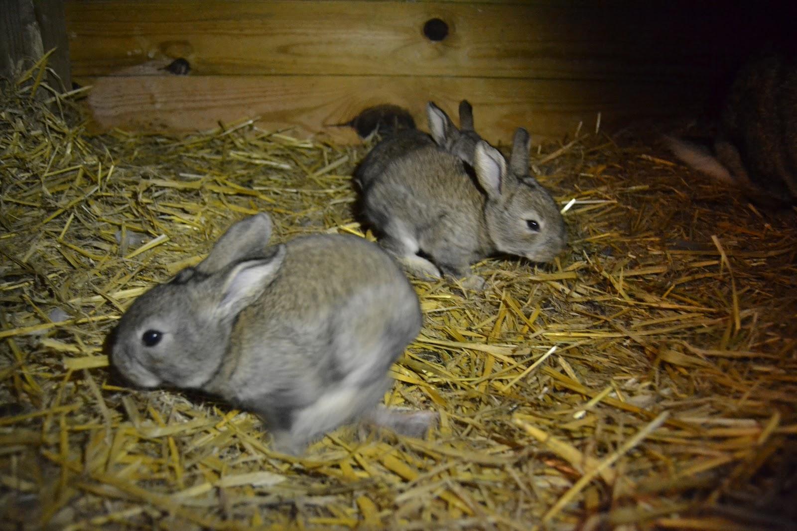 løbe går til kaniner