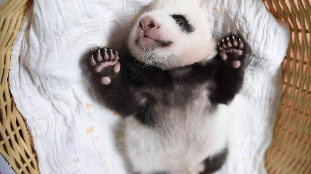 Children panda #11