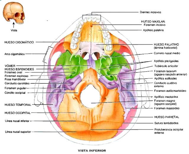 Cráneo huesos vista inferior