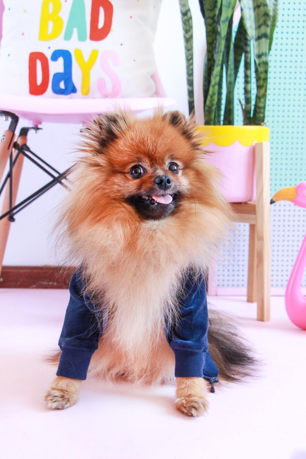cachorro fofo vestindo roupa jaqueta