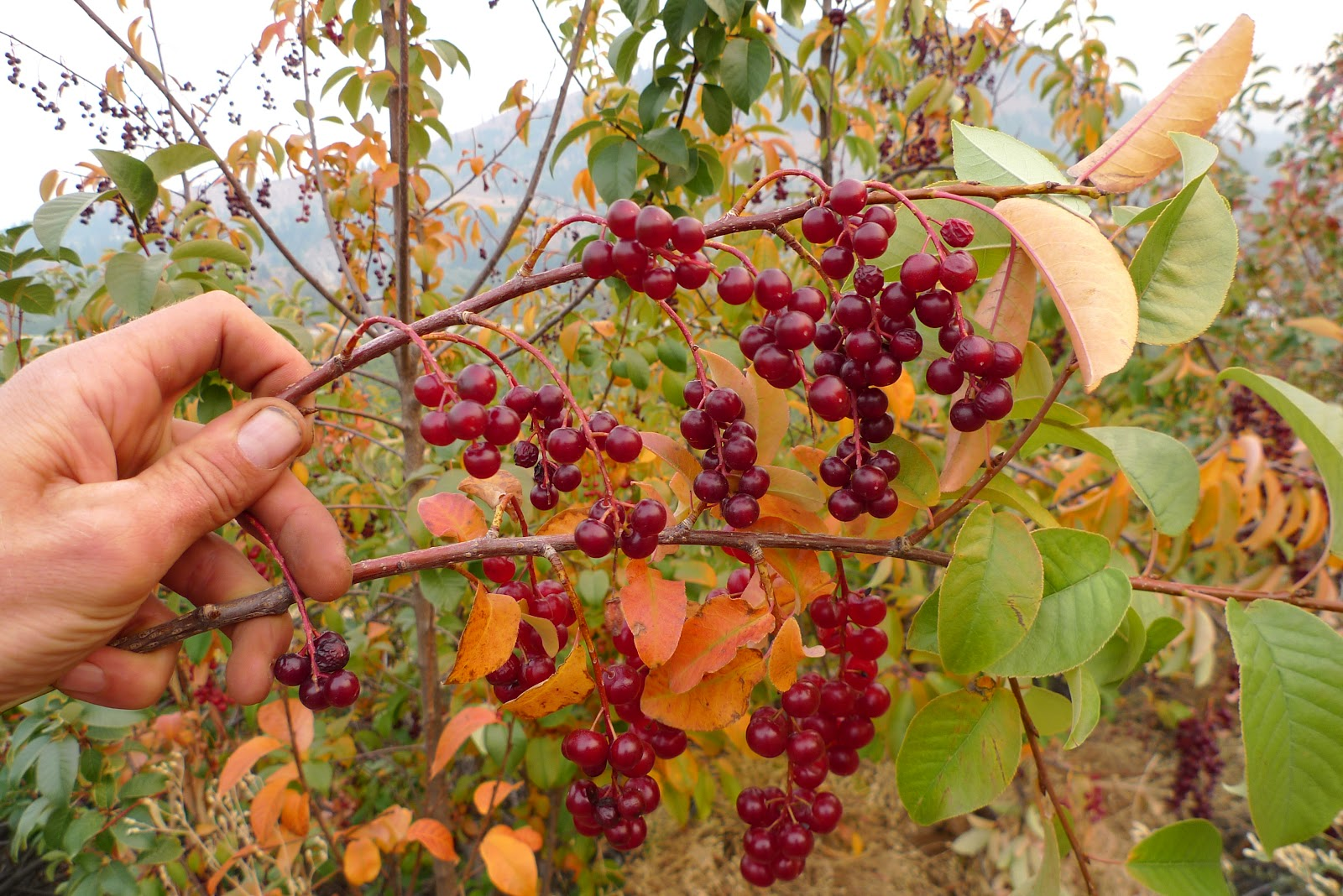 Wild Harvests Chokecherries From The Dry Side Of The