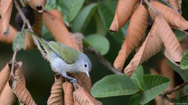Chestnut-vented Conebill Conirostrum speciosum speciosum Figuinha-de-rabo-castanho Mielerito Azul female