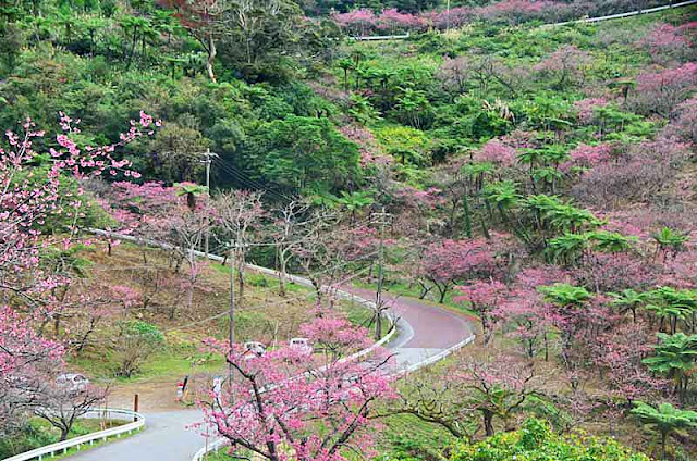 Winding mountain road with cherry trees lining the guardrails