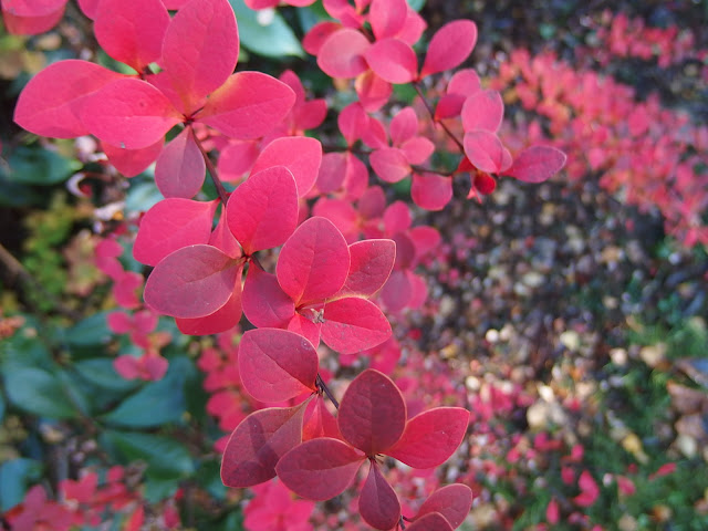I'm on the hunt for seasonal foliage to match this spectacular Berberis which its fireglow to my garden at this time of year