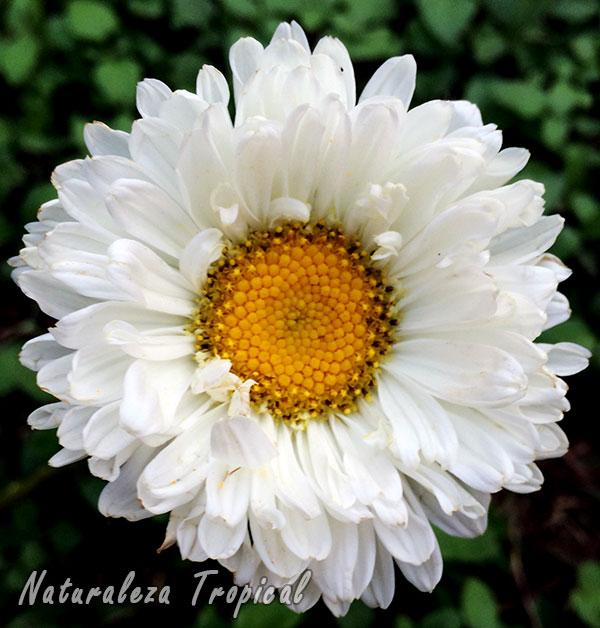 Variedad blanca de la inflorescencia de la Reina Margarita o Extraña Rosa, Callistephus chinensis