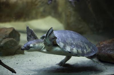 Kura-kura Moncong Babi (Monbi)