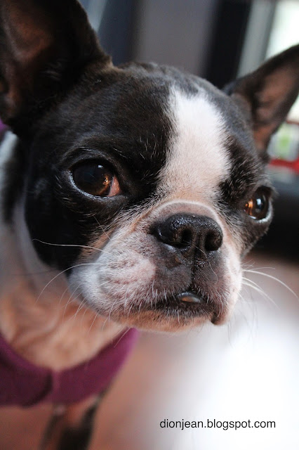 Sinead the Boston terrier sits close by