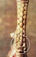 kaki ayam bangkok katuranggan