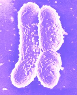 Mycobacteria dan Corynebacteria merupakan kerabat dekat Aktinomesetes. Dua species mikrobakteri ini menyebabkan penyakit pada manusia yang serius dan kronis, yaitu Tuberkolose dan lepra.     Corynebacteria diphtheriae menyebabkan penyakit difteri, sebagaimana pada tetanus, bahaya pada difteri bukan karena penyebaran bakteri tersebut ke dalam jaringan di tenggorokan, melainkan karena toksin yang dihasilkan.