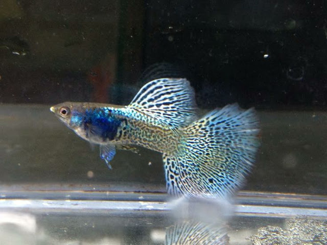 Dunia Ikan Hias - GUPPY METAL LACE THAILAND