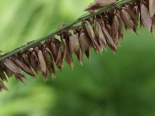 Melique cilliée - Melica ciliata