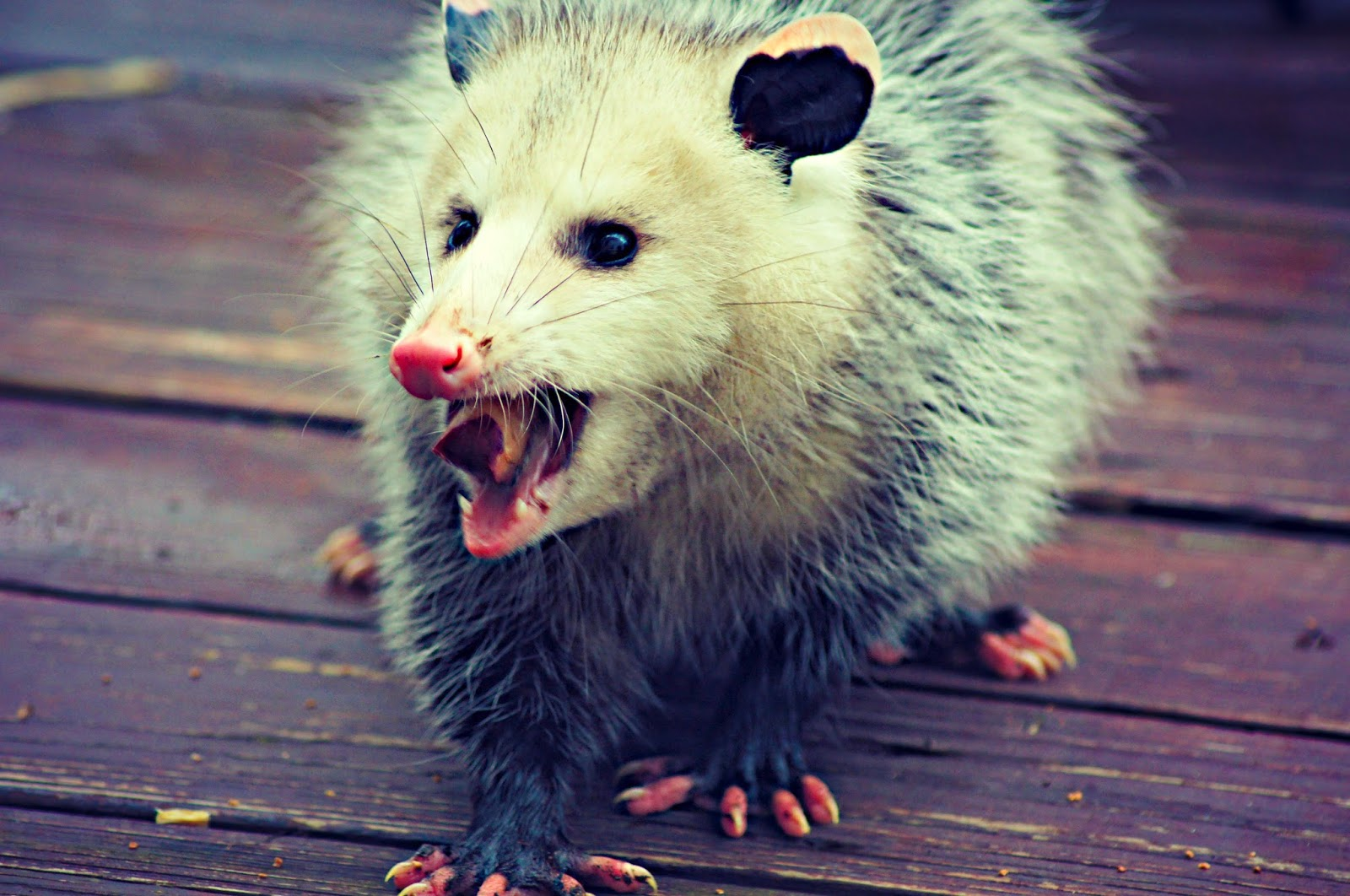 Will Possums Eat Cat Food