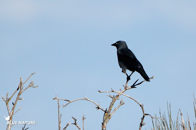 Grajilla occidental (Corvus monedula)