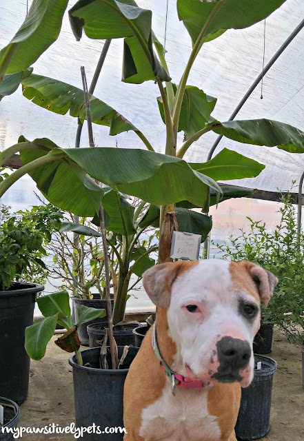 Are Banana Trees Toxic To Dogs Or Cats