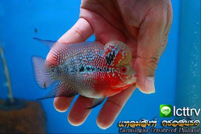 ปลาหมอสี ซ๊อตบอร์ดี้ ปลาหมอสี ส้ั้น ห้วโต น่ารัก จำหน่าย ขายปลาฟลาวเวอร๋ฮอร์น