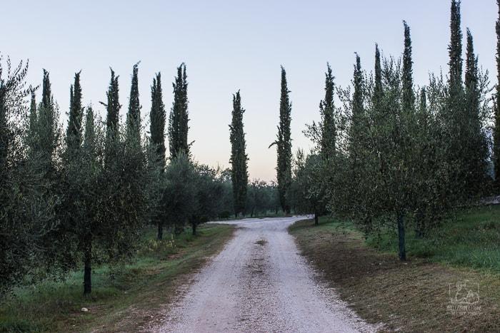 Jak powstaje oliwa z oliwek? Gaj oliwny