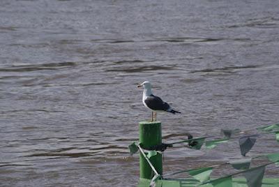 Eine Möwe steht auf einem grünen Pfeiler und blickt auf den Rhein