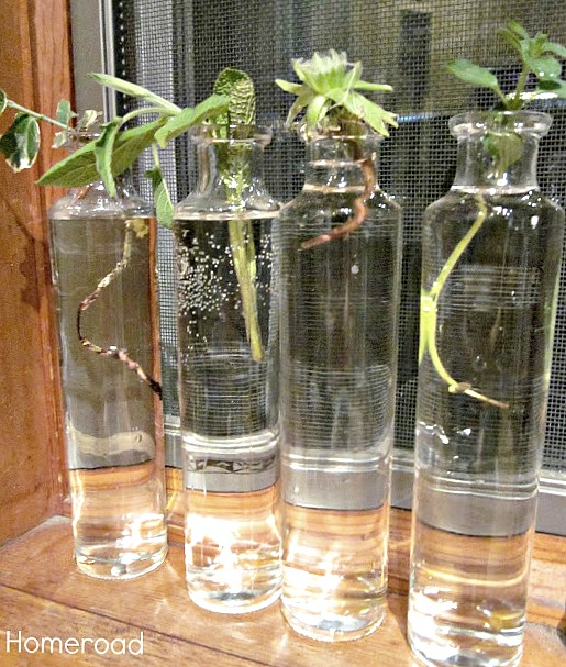 Skinny Recycled Bottles for Rooting Plants