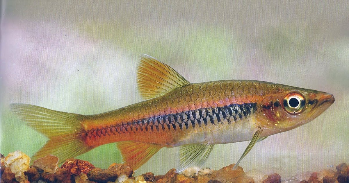 Welcome to sri lanka wilpita dandiya for P o fish