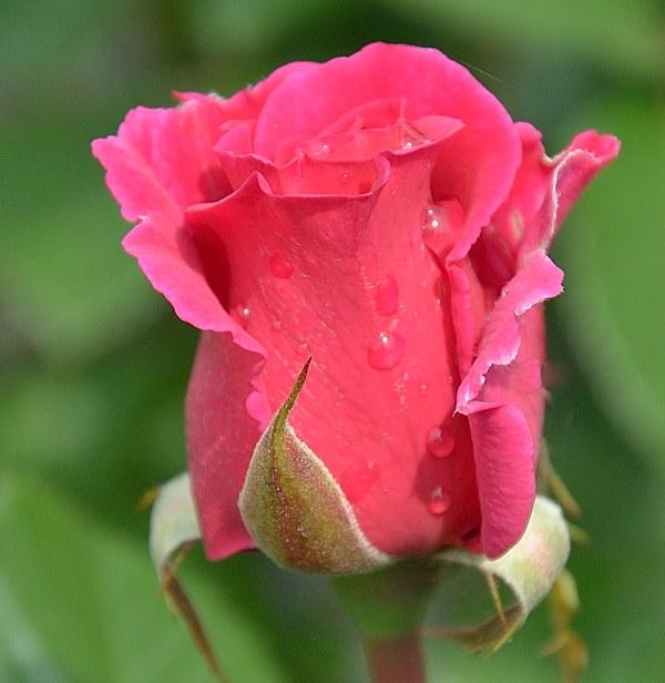 Princess Alexandra Renaissance сорт розы фото саженцы Минск купить
