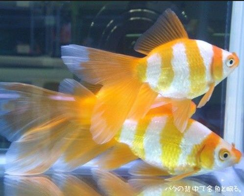 Jenis Ikan Komet Harimau - Tiger Yellow Kometfish