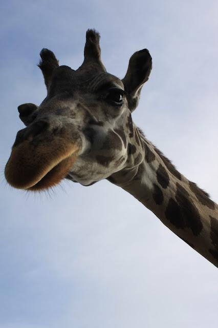 Da schaut die Giraffe durch unser Autofenster rein!
