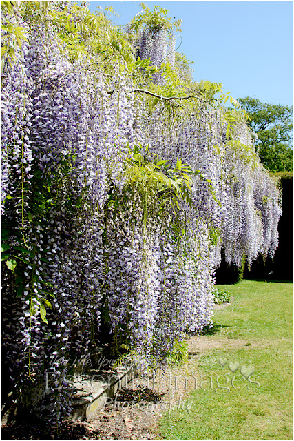 Wisteria is one of nature's beauties