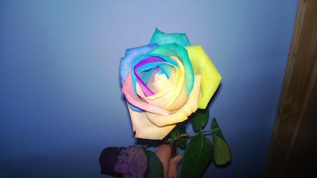 Rose mit bunter Blüte
