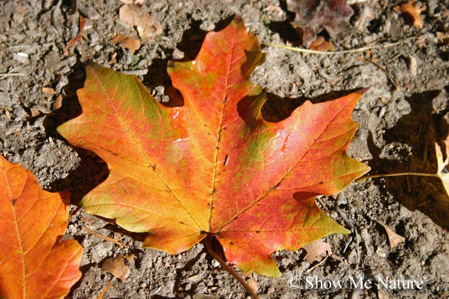 The Carotenoids Pigment Responsible For Fall Colors Is Already Present With In Leaf But Concealed By Green Color Of Chlorophyll