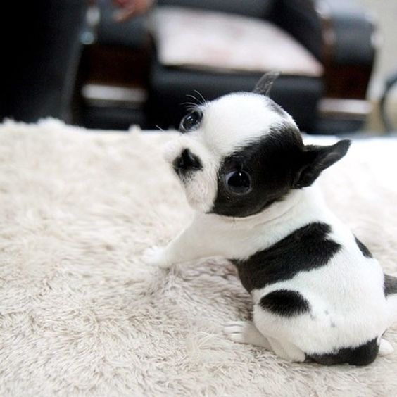 Top 5 Sweetest Teacup puppies