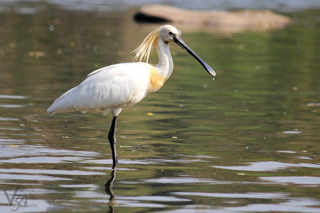 Spoonbill at Ranganathittu Bird Sanctuary