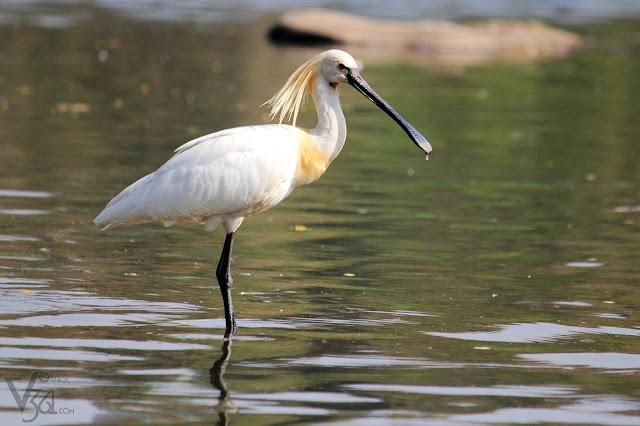 Spoonbill at Ranganathittu Bird Sanctuary
