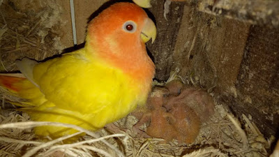 Cara Ampuh Membersihkan Glodok Lovebird Agar Rajin Bertelur  Sukses Dalam Burung Lovebird Cara Ampuh Membersihkan Glodok Lovebird Agar Rajin Bertelur