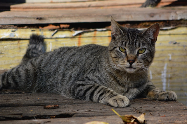 gray tabby cat relaxing in the fall