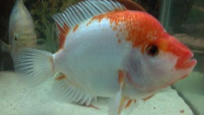 gambar ikan red devil berwarna merah dan putih