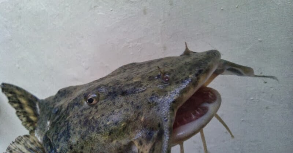 Ikan Bagarius