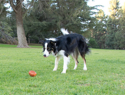 Treat-dispensing crunching football toy