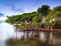 Tanaman Bakau, Pohon Pencegah Erosi Pantai