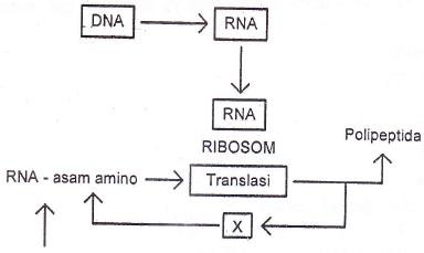 Soal latihan usbn dan unbk biologi sma tipe 4 qassampedia diagram langkah sintesa protein ccuart Images