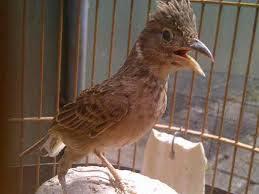 Burung Branjangan - Daerah Daerah yang Terkenal Menghasilkan Burung Branjangan yang TOP