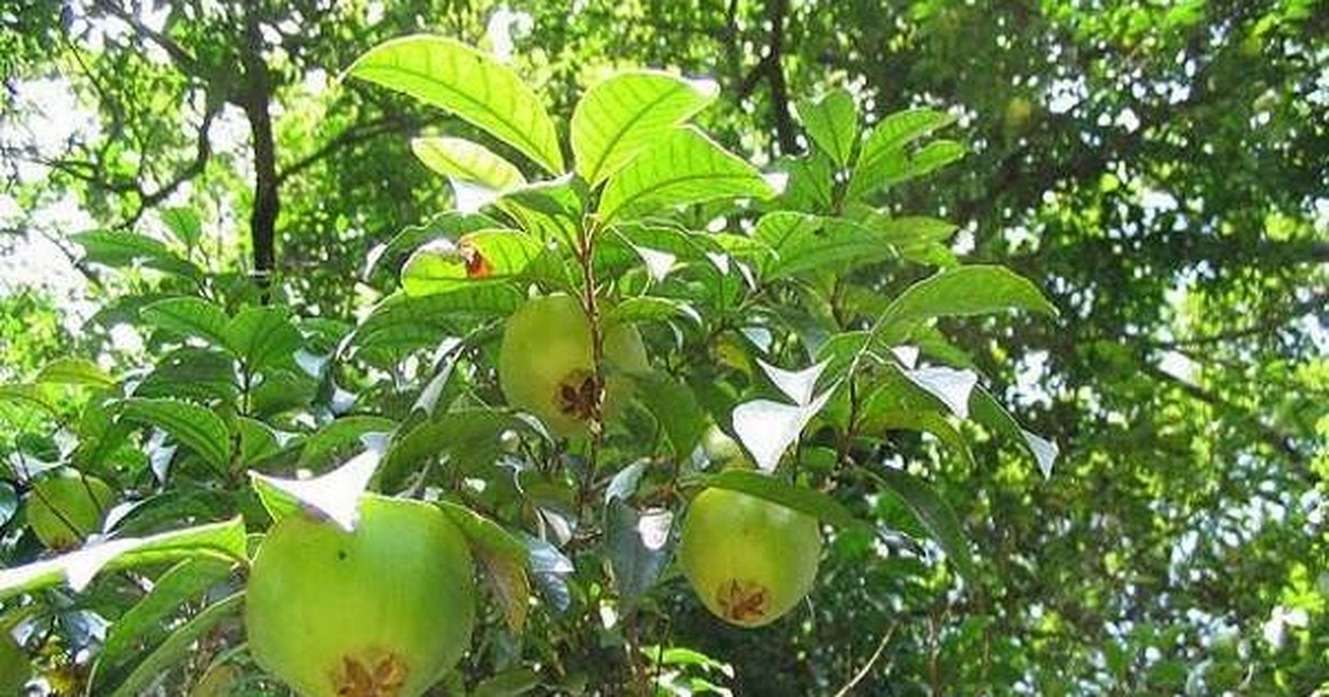 Tem Na Web - Cambuci: uma árvore em extinção